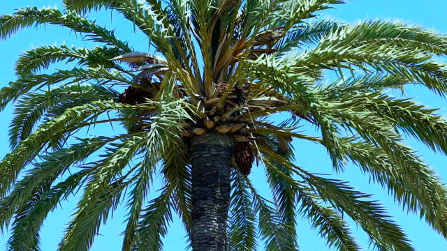 Slender palm slowly and quietly swaying its long branches in rhythm with wind video