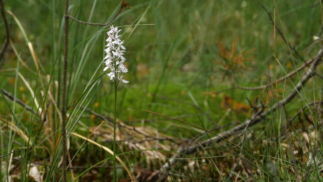 slender stem with white flowers orchis