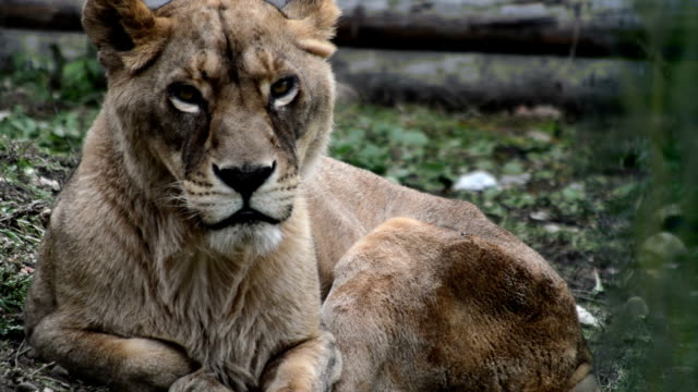 sleppy female lion video