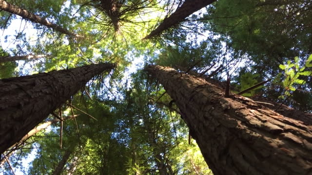 Slide motion POV looking up at Giant Redwoods forest canopy Slide motion POV looking up at Giant Redwoods forest canopy near Rotorua in then North Island of New Zealand.California redwoods can grow over 350 ft tall and live to 2000 years old. pine tree stock videos & royalty-free footage