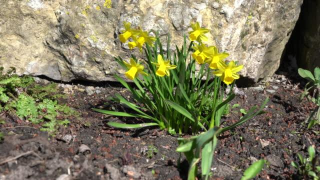 stockvideo's en b-roll-footage met slider bewegen rond een aantal narcissen in het voorjaar - fresh start yellow