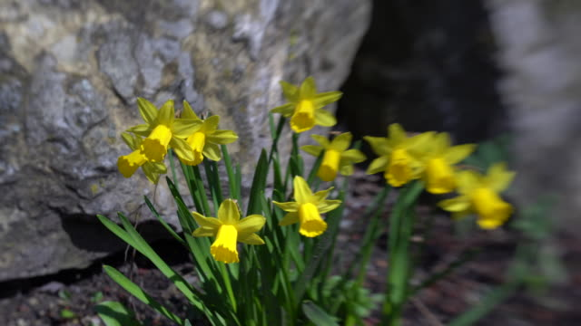 stockvideo's en b-roll-footage met slider bewegen rond een aantal narcissen in het voorjaar met een gedeeltelijk wazig speciaal effect - fresh start yellow