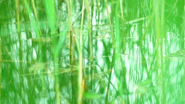 Sliding through the grass growing in water Camera moving on the pond surface through the grass growing in water duckweed stock videos & royalty-free footage