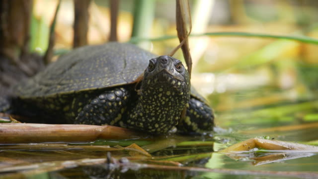 A slightly moving footage of a turtle enjoying and observing the environment near a swamp