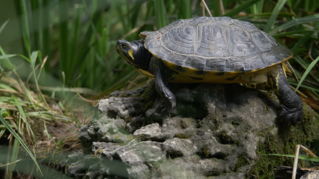 A slightly moving footage of a turtle lying on a stone, enjoying and observing the environment