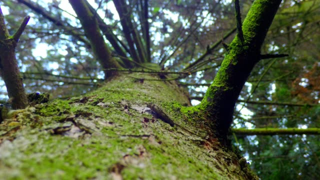Slip on the trunk of a spruce sliding on the trunk of a spruce plant bark stock videos & royalty-free footage