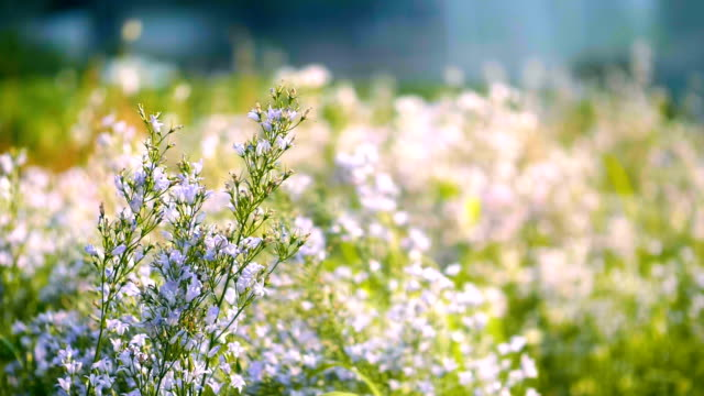 Slo mo Blossom  : Lavender field and  Butterfly Slo mo Blossom  : Lavender field and  Butterfly herb stock videos & royalty-free footage