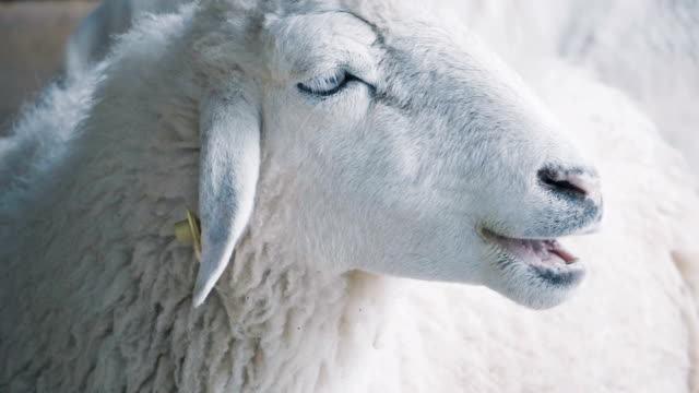 slo mo sheep - ovino video stock e b–roll