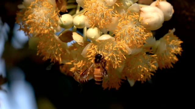 slomo bee take off from yellow flowers. - coreopsis lanceolata video stock e b–roll