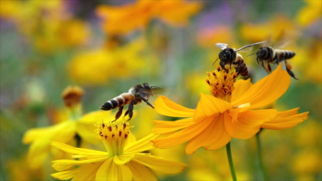 Slomo Bees Collect Food From Yellow Flowers Then Take Off. video