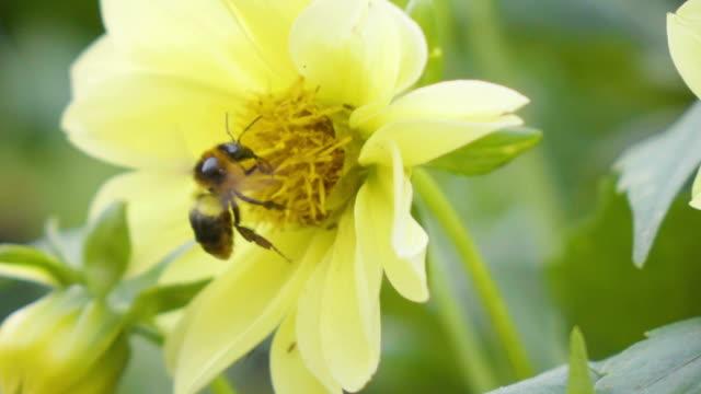 slomo honey bee - coreopsis lanceolata video stock e b–roll
