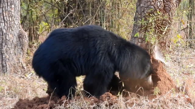 Sloth bear digging and demolishing termite mound to find termites