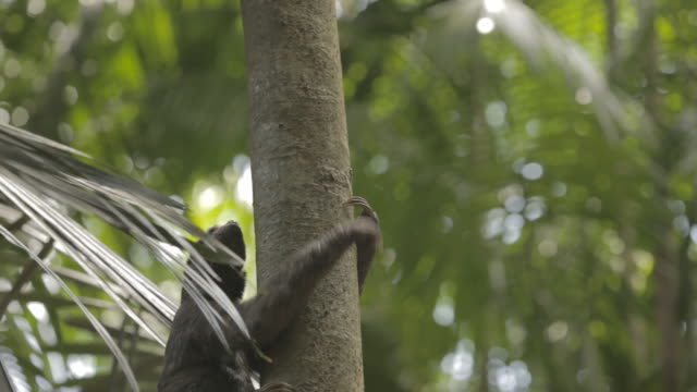 Sloth (Folivora) climbing a tree