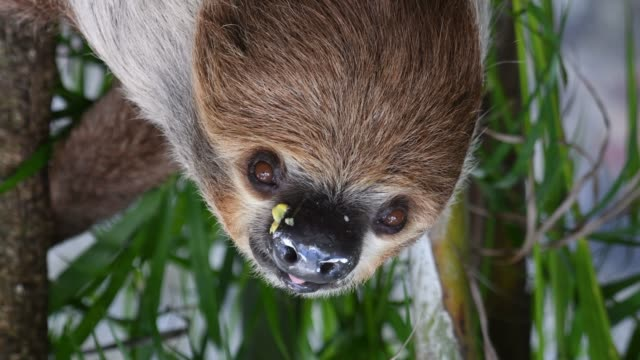 Sloth face close-up