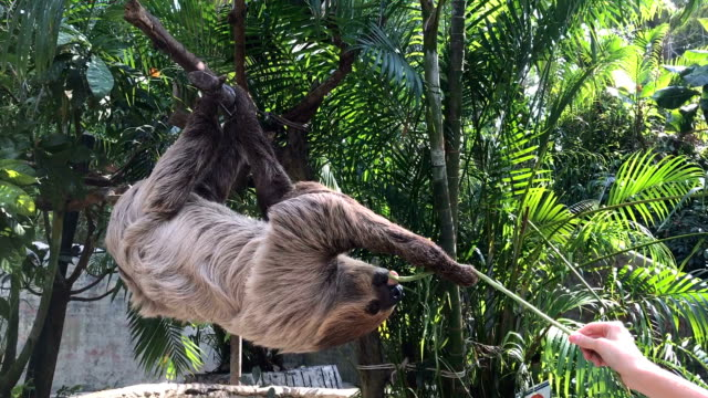 Sloth hang on tree and feeding cow-pea.