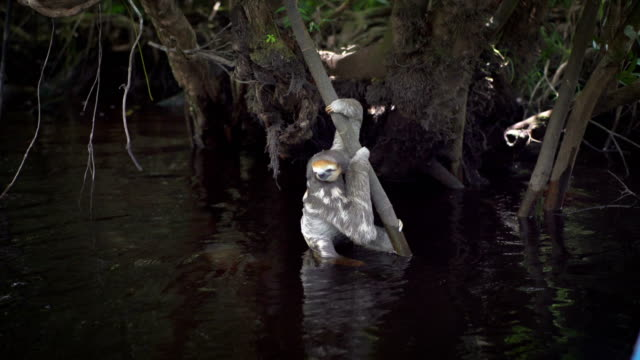 Sloth hanging on a tree branch. Cooling paws in the river video