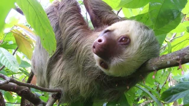 vídeos de stock e filmes b-roll de sloth hanging on a tree branch. - lento