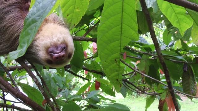 木の枝にぶら下がっているナマケモノ。 - 怠惰点の映像素材/bロール