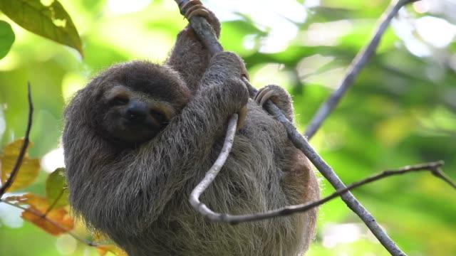 Sloth in Costa Rica Video Clip
