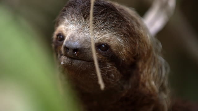CU Sloth on a tree video