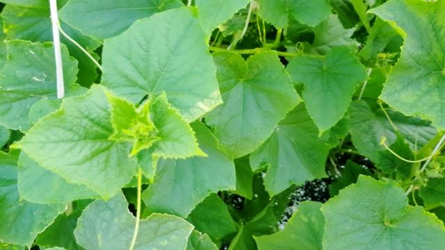 4k långsam kamera rörelse från botten till toppen längs gurka anläggningen, med gröna blad och små frukter, växande grönsaker i trädgården på sommaren, utomhus - lucia bildbanksvideor och videomaterial från bakom kulisserna