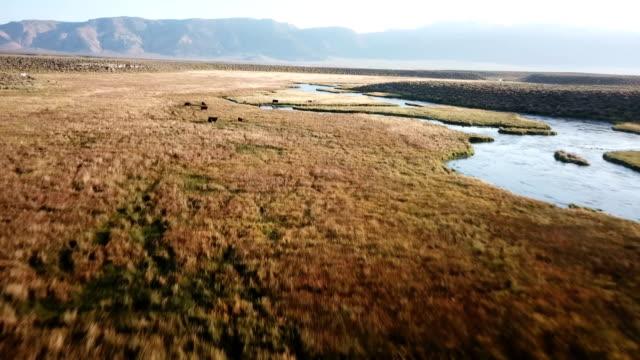 slow descend to cows grazing in deep red grassy plain along river - równina filmów i materiałów b-roll