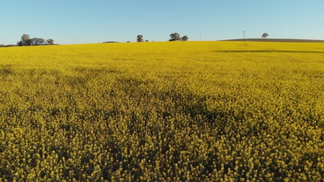 Slow flyover of Canola crop field agriculture Australia Aerial footage