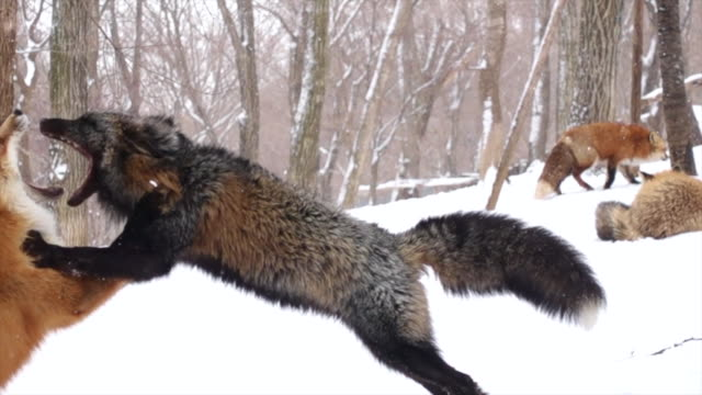 slow footage of foxes are fighting in the jungle during snowing in winter. - walczyć filmów i materiałów b-roll