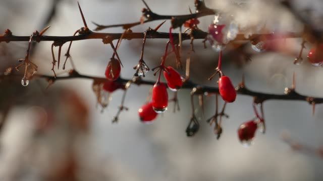 Slow melting first snow on Ripe Red Barberry beries Slow melting first snow on Ripe Red Barberry beries in late autumn first occurrence stock videos & royalty-free footage