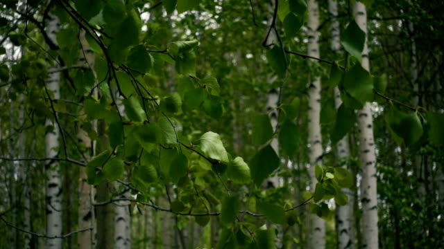 Slow mo. Birch forest branches with leaves video