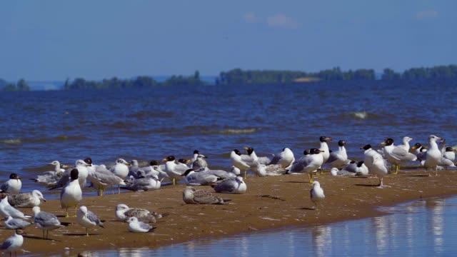SlOW MOTION: A flock of birds of gulls - great black-headed gull ( Larus ichthyaetus ) and black-headed gull (Chroicocephalus ridibundus) takes off.