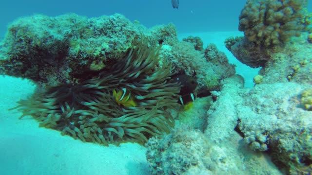 zeitlupe - anemonefish schwimmt in der nähe von anemone. rotes meer anemonefish oder dreibandige anemonefish - amphiprion bicinctus, unterwasser-aufnahmen - endemisch stock-videos und b-roll-filmmaterial