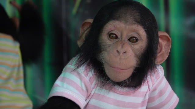 stockvideo's en b-roll-footage met slow motion baby chimpansee dragen shirt. - mensaap