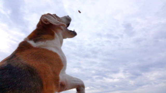 Slow motion Beagle catching a snack Slow motion Beagle catching a snack snack stock videos & royalty-free footage