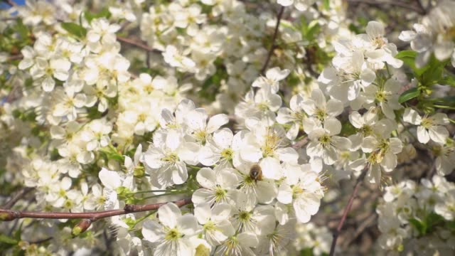 slow motion. beautiful blooming cherry and bee collects nectar. - albicocco video stock e b–roll