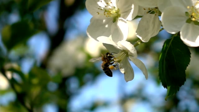 Slow motion bee flying pollinating fruit trees video
