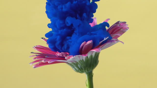 Slow motion Blue ink drop into flower.