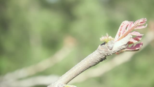 Slow motion camera movement on a branch with young leaves video