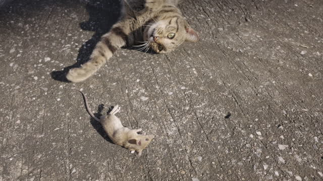 Slow motion cat playing with dead rat