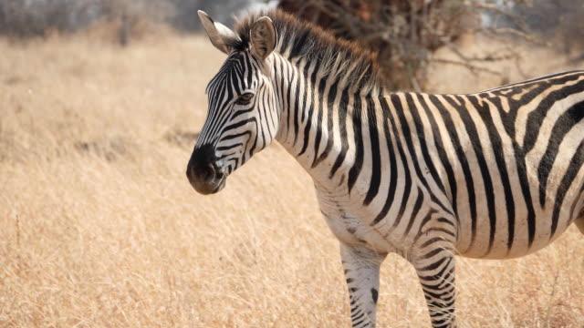 slow-motion schließen schuss eines zebras vorbei an der kamera im tarangire national - savanne stock-videos und b-roll-filmmaterial