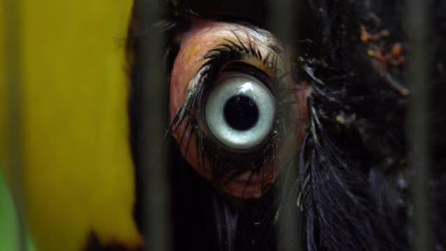 slow motion close up a blue eye of female great indian hornbill in captivity - юго восток стоковые видео и кадры b-roll