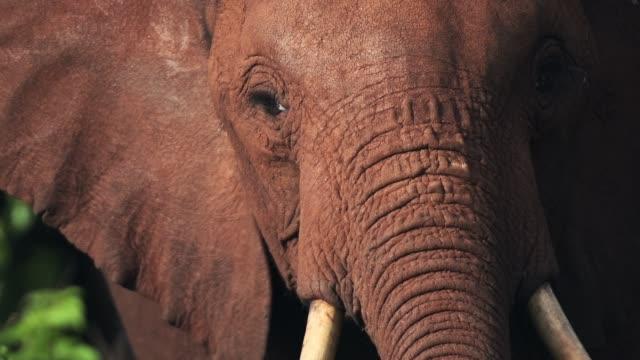 slow motion närbild av afrikanska elephant i kenya - djurhuvud bildbanksvideor och videomaterial från bakom kulisserna
