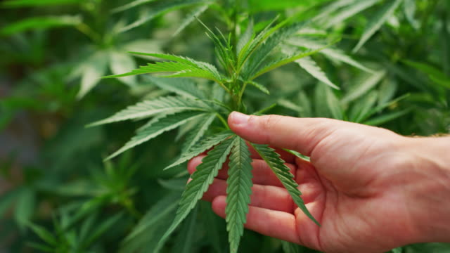 Slow motion close up of an agronomist hand is checking hemp plants in a greenhouse,  used used for herbal alternative medicines and cbd oil production Slow motion close up of an agronomist hand is checking hemp plants in a greenhouse,  used used for herbal alternative medicines and cbd oil production. hashish stock videos & royalty-free footage