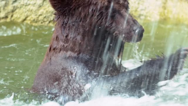 Slow Motion, close up of Brown Bear bathing in waterfall. Wild Ursus Arctos
