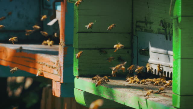 vídeos de stock e filmes b-roll de slow motion close up of homegrown bees making honeycombs for procreation and honey extraction in a colorful hives. - honeycomb
