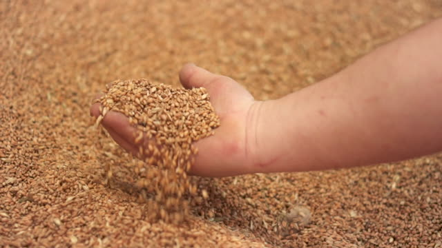 vídeos de stock, filmes e b-roll de o fim do movimento lento acima do tiro das mãos do fazendeiro que prendem grãos do trigo após boa colheita. - estilo de vida dos abastados