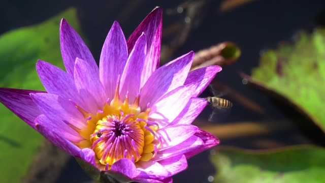 Slow motion, Close-up Bee gathering pollen from violet lotus flower in nature.