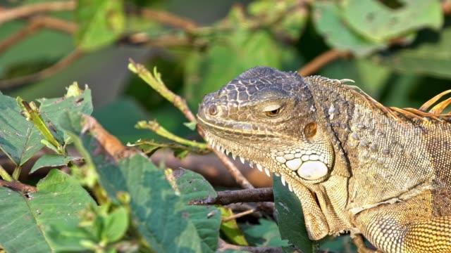 slow motion, close-up green iguana steht auf einem ast des baumregenwaldes - faul ast stock-videos und b-roll-filmmaterial