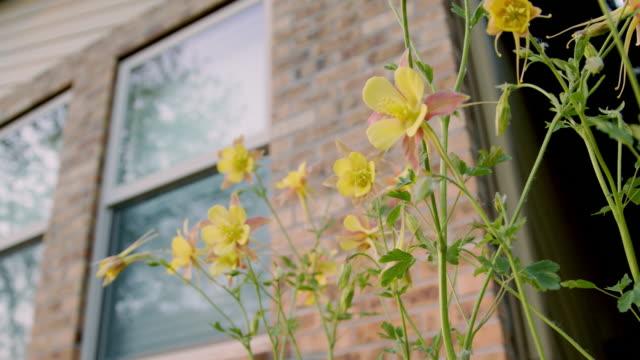コロラド州のレンガ造りの家の前で美しいピンクと黄色のコロンバインの花のスローモーションクローズアップローアングルハンドヘルドショット - 煉瓦点の映像素材/bロール