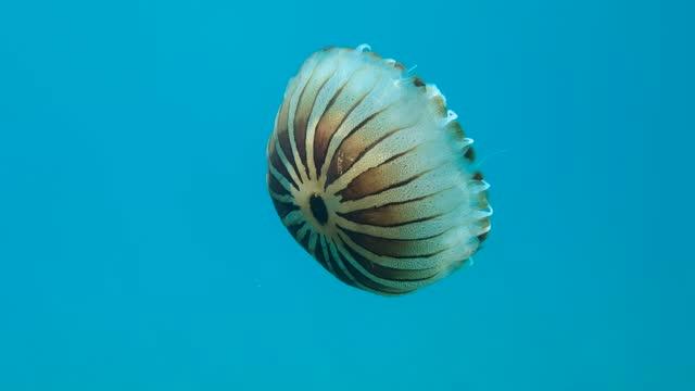stockvideo's en b-roll-footage met slow motion. kompaskwallen (chrysaora hysoscella) zwemmen in het blauwe water in zonnestralen. adriatische zee, montenegro, europa - eén dier